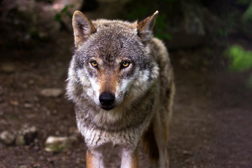 wolf-635063_960_720.jpg